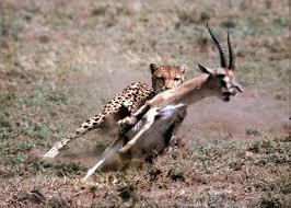 cheetah hunts