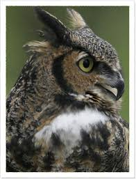 gray horned owls