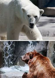 evolution of the polar bear