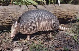 endangered armadillo