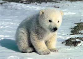 endangered polar bear