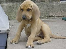 bloodhound puppy breeders