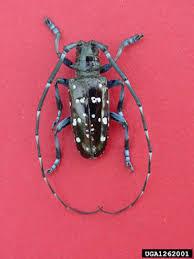 japanese long horned beetle