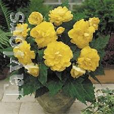 double begonia