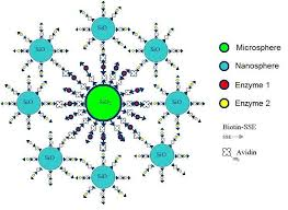 biotin avidin binding