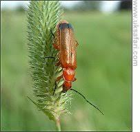 identifying beetle