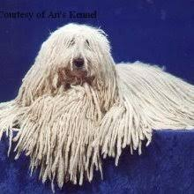komondor breeder
