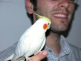 bird cockatiel