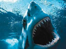 great white shark australia