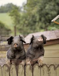 pigs homes