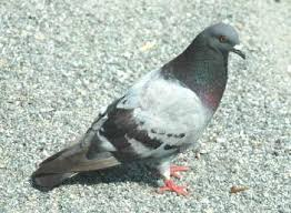 pictures of pigeons