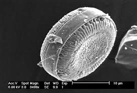 diatom image