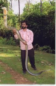 king cobra snakes