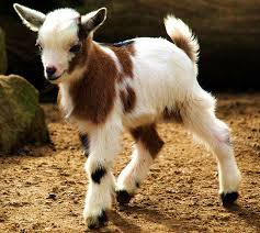 baby goat picture