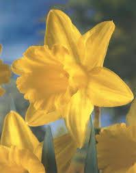 daffodil king alfred