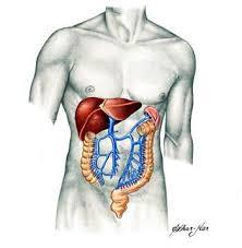 corpo humano sistema digestivo