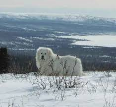 great pyrenees pictures