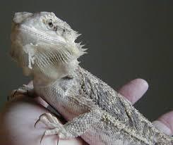 bearded dragons shedding