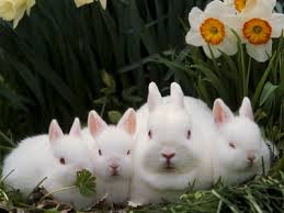 pictures of dwarf rabbits