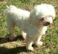 miniature maltese poodle