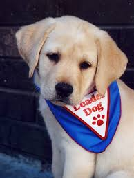 golden labs puppies