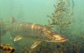 musky fish