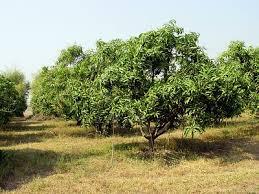 mangos trees