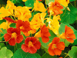 nasturtiums flowers