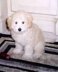 toy poodle maltese mix