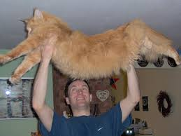 fluffy orange cats