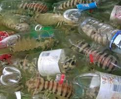 mantis prawn