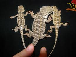 juvenile bearded dragons for sale
