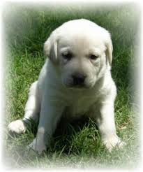 pictures of white labs