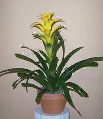 bromeliad plant pictures