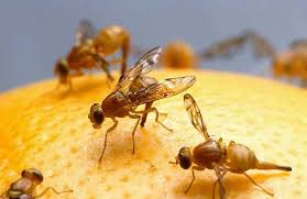 pictures of fruit flies