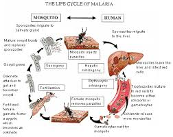 life cycle of malaria mosquito