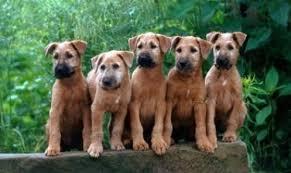 different terrier breeds