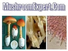 mushroom identification guide