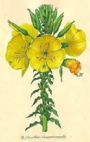 oenothera lamarckiana