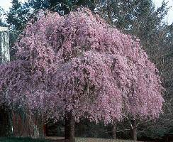 double weeping cherry tree