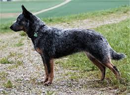 dog aussie