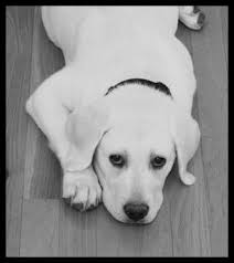 mini labrador puppies