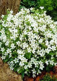 campanula species