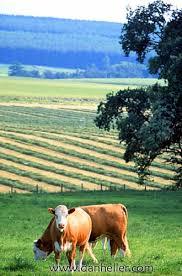 cows farm