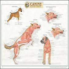 canine anatomical chart