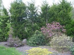 dwarf japanese black pine