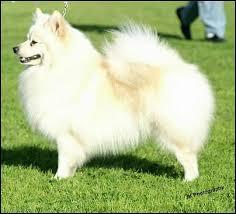 german spitz dogs