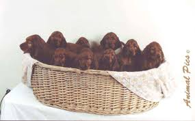 red setter dogs
