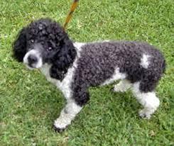 bichon frise poodle mix puppies