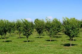 asian pears trees